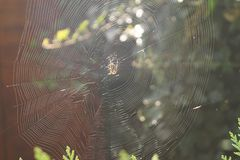 Spider in the spiderweb. Waiting for a fat fly Stock Photo