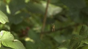 Spider on Spiderweb. Steady, medium close up shot of a spider on a spiderweb stock video footage