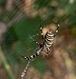 Spider on spiderweb in summer Royalty Free Stock Photo