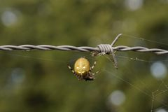 Spider in the spiderweb. Waiting for a fat fly Stock Photography