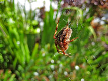 Spider spinning web. Macro view of red and black spider spinning web with green nature background Royalty Free Stock Images