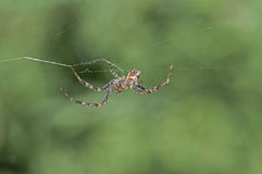 Spider spinning a web. A single spider spinning a web with background out of focus royalty free stock image
