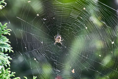 Spider spinning web Stock Photography