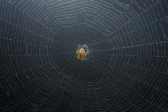 Spider Spinning Web Royalty Free Stock Images
