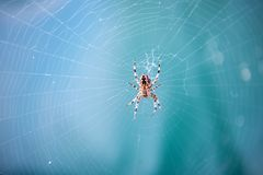 Spider spinning web in nature on blurred blue background. Arachnid, insect, animal. Web construction, design, geometry Royalty Free Stock Photography
