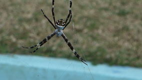 A spider spinning a web in the tropics. A large arachnid swaying with the breeze at belmont house, bequia stock footage