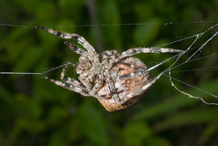 Spider spins spider-web 12 Royalty Free Stock Photos