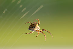 Spider spins web Stock Image