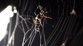 Spider spins a web in macro. On black background stock video