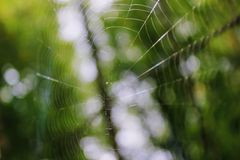 The spider spun a web on the branches of a tree in the forest Royalty Free Stock Photo