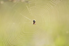 Spider spun a web on summer green meadow Royalty Free Stock Photo