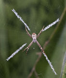 Spider, St Andrew's Cross Stock Photography