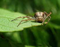 Spider stalking catch on green leaf. Spider stalking on garden green leaf macro close-up Stock Photography