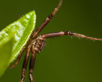 Spider stand on defensive Stock Photo