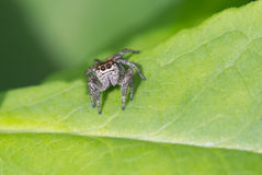 Spider-steed Stock Photography