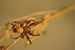 Spider on a straw closeup Royalty Free Stock Image