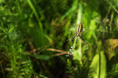 Spider. Striped spider on a spider web in the grass Royalty Free Stock Photo