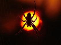 Spider and sun. Spider on cobweb in the rising sun royalty free stock images