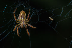 Spider suspended over his spider web inside of the Cuyabeno National Park, in Ecuador Royalty Free Stock Photography
