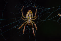 Spider suspended over his spider web inside of the Cuyabeno National Park, in Ecuador Stock Photo