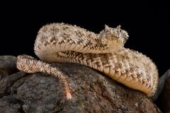 Spider-tailed horned viper Pseudocerastes urarachnoides. The spider-tailed horned viper Pseudocerastes urarachnoides is a species of viper endemic to western Stock Photography