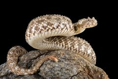 Spider-tailed horned viper Pseudocerastes urarachnoides tail detail. The spider-tailed horned viper Pseudocerastes urarachnoides is a species of viper endemic to Stock Image