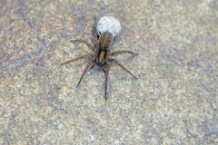 Spider with egg bag. The spider takes along its egg bag Stock Photography