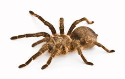 Spider tarantula stock photos