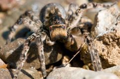 Spider tarantula Stock Image