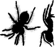 Spider. spider tarantula .  black spider silhouette Stock Photos