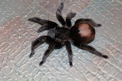Spider tarantula Brachypelma albopilosum royalty free stock photo