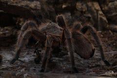 Spider Tarantula Grammostola rosea. Here you can see a Grammostola rosea feeding on a cricket royalty free stock photos