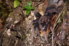 Spider tarantula out from nest Stock Photos