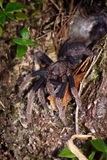 Spider tarantula out from nest Stock Photo