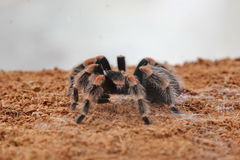 Spider Tarantula. Is Poisonous animals royalty free stock photo
