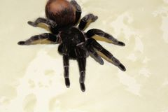 Spider tarantula species. Closeup of dangerous creepy wolf spider tarantula species Royalty Free Stock Photography