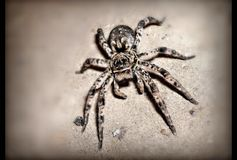 Spider tarantula Stock Images