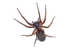 Spider, Tegenaria Royalty Free Stock Photo