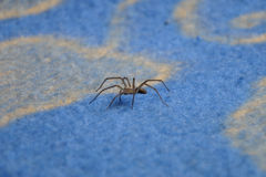 Spider (Tegenaria Atrica) on the blue rug. Scary Spider (Tegenaria Atrica) runing on the blue rug Royalty Free Stock Image