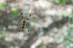 Spider tending its web Royalty Free Stock Images