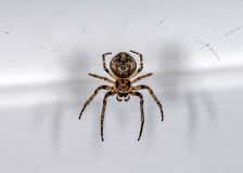 Spider in terms of Royalty Free Stock Photography