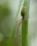 Spider Tetragnatha extensa Royalty Free Stock Photo