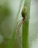 Spider Tetragnatha extensa Royalty Free Stock Photo