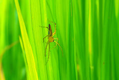 Spider in Thailand. Royalty Free Stock Images
