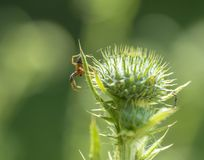 Spider on thistle Royalty Free Stock Photography