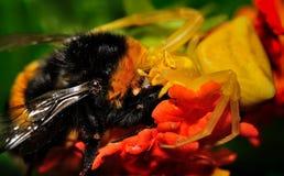 Spider Thomisus onustus with his prey Buff-tailed Bumblebee Bombus terrestris Royalty Free Stock Photo