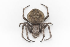 Spider, a top view Royalty Free Stock Photos