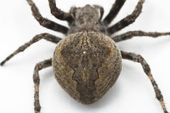 Spider, a top view Stock Images