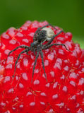 Spider on top of the wild strawberry Stock Image