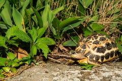 Spider Tortoise Stock Image